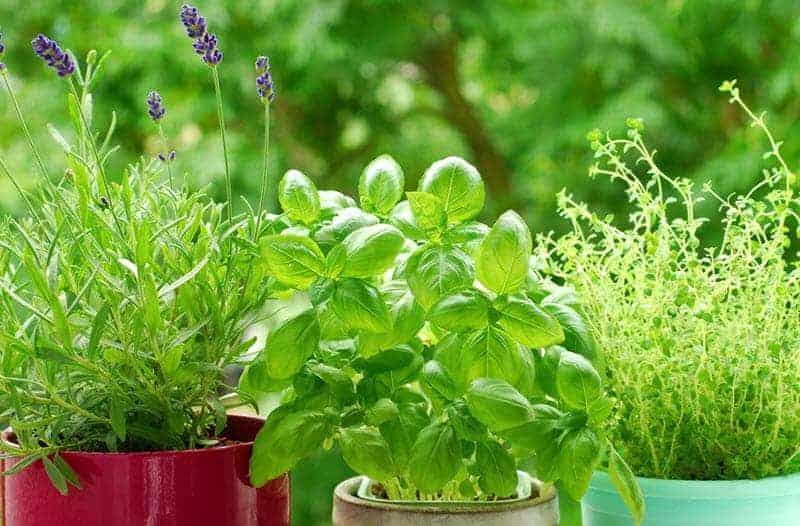 Herbs Plants To Grow Indoor Small Garden Ideas
