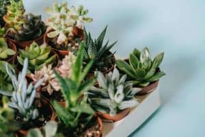 How To Propagate Succulents With Honey