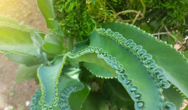 Mother of Thousands Varieties