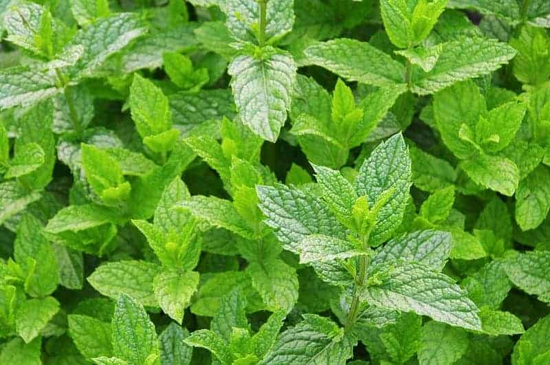Why Is Mint Good To Use For Aquaponics