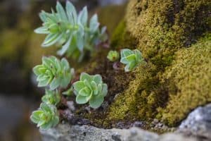 Can Succulents Live in Moss