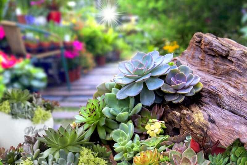 How Long Can Succulents Go Without Water?