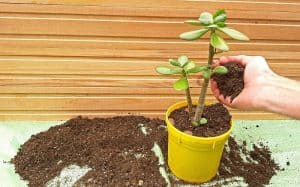Best Soil for Jade Plant