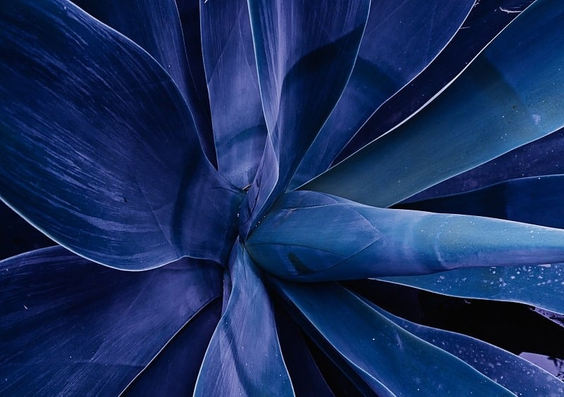 Blue Fox Tail Agave