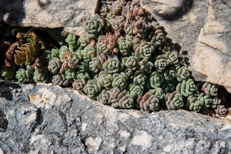 Corsican Stonecrop
