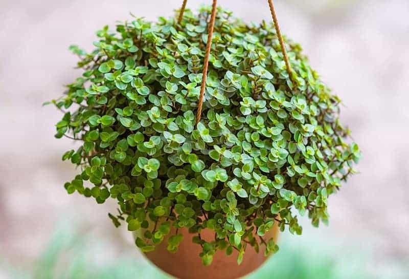 Creeping Inchplant