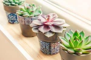 Do Succulents Need Direct Sunlight