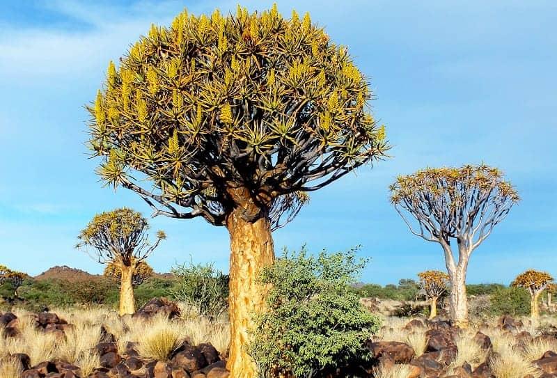 Giant Quiver Tree