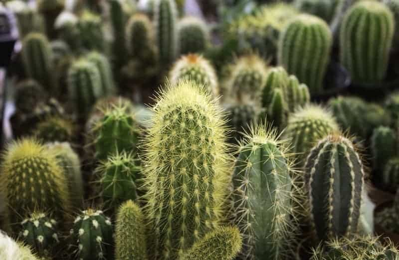 How Fast Do Cactus Grow?
