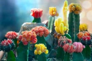 How Long Do Moon Cactus Live
