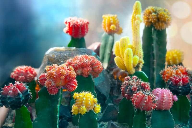 How Long Do Moon Cactus Live