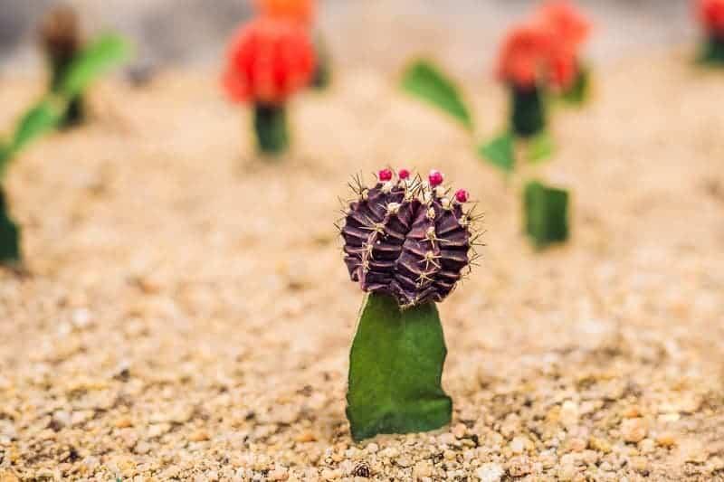 Purple Moon Cactus