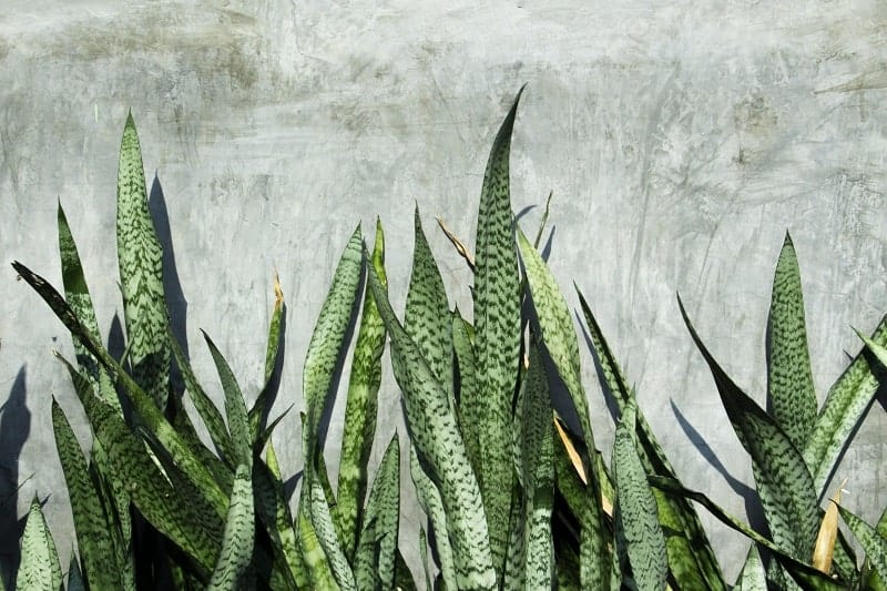 Variegated Snake Plant