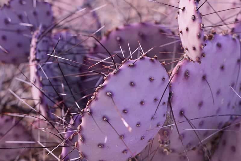 Violet Prickly Pear