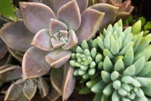 Succulent Edema