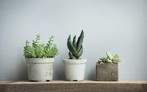 Are Succulents Indoor or Outdoor Plants
