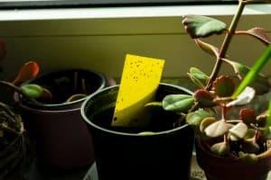Gnats on Succulents