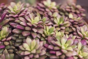 Are Succulents Safe for Bearded Dragons