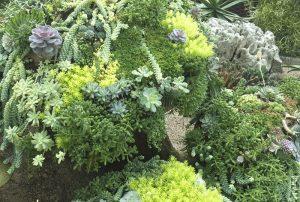 Succulents in Nature