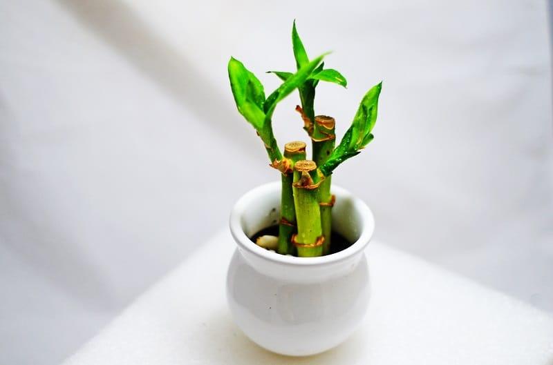 Bamboo Plant in Bathroom