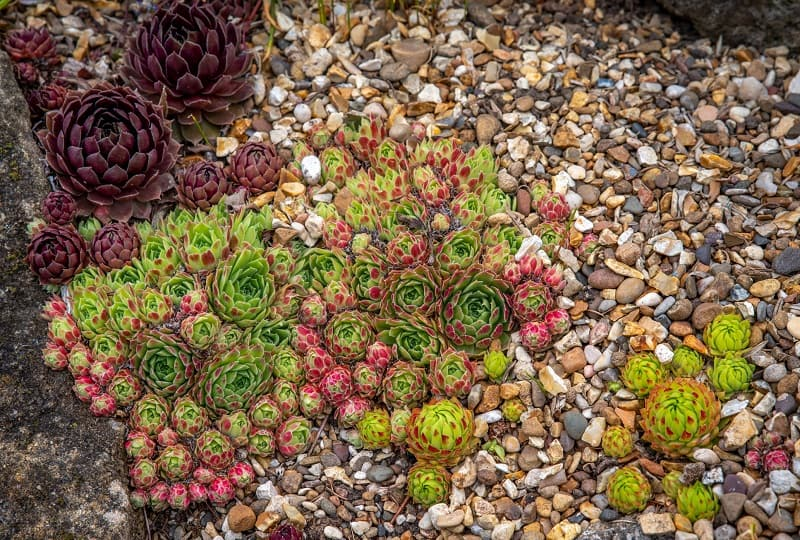 Can Succulents Grow In Rocks