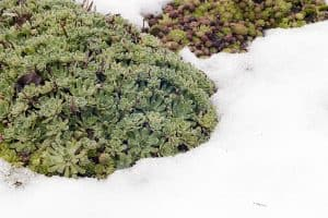 Can Succulents Grow in Cold Weather
