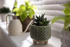 Can Succulents Grow in Shade