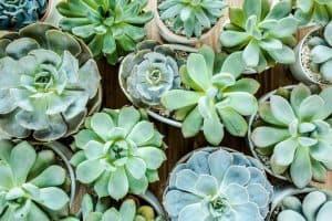 How To Fix Succulent Etiolation