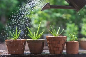 How to Revive an Aloe Vera Plant