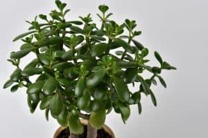 Jade Plant Leaves Turning Black
