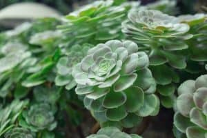 Signs of Overwatering Succulents
