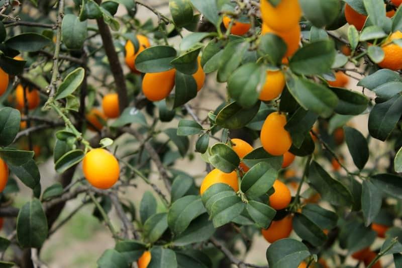 Kumquat Tree Leaves Turning Yellow