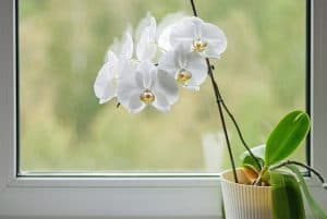 Orchid Stem Turning Yellow