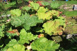 Rhubarb Leaves Turning Yellow
