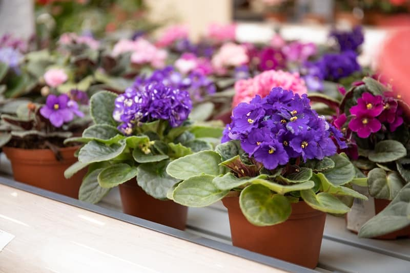 African Violet Root Rot