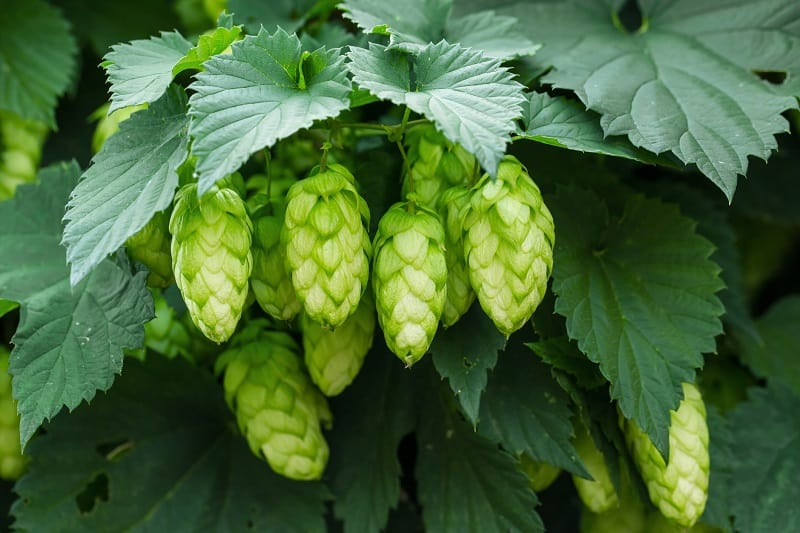 Growing Hops in Containers