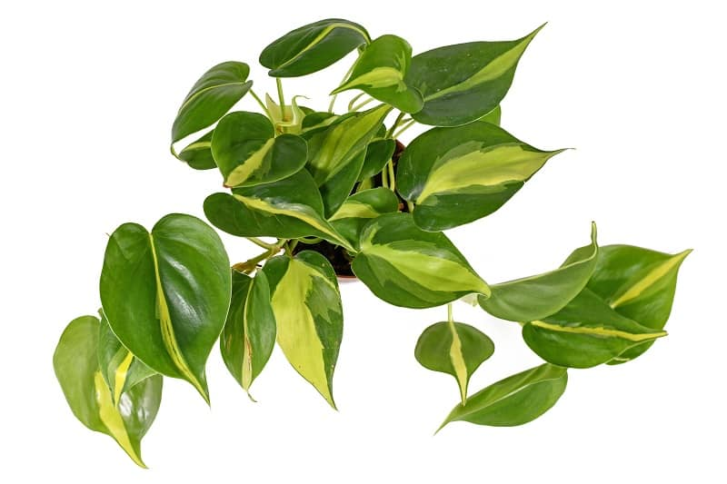 Heart Leaf Philodendron Care And Propagation
