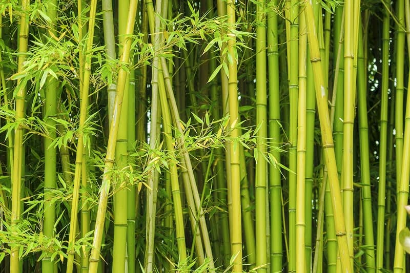 How To Save A Dying Bamboo Plant?