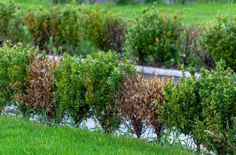 How To Save A Dying Boxwood Bush?