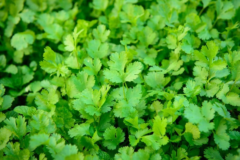 How To Save A Dying Cilantro Plant?