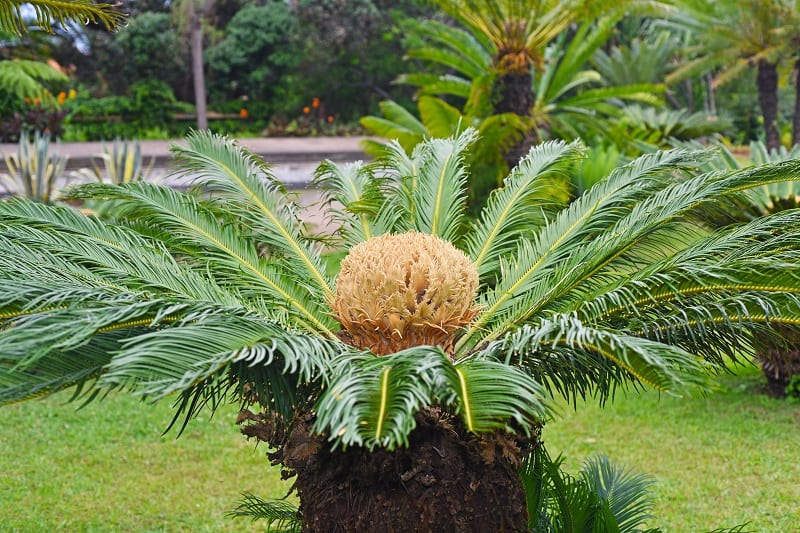 How To Save A Dying Cycad?