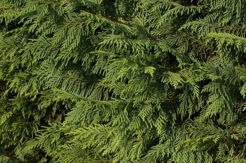 How To Save A Dying Cypress Tree?