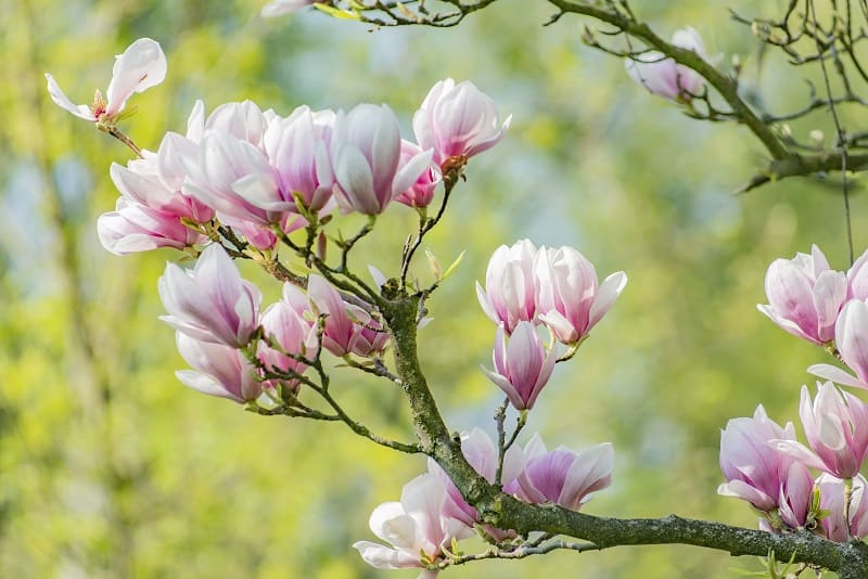 How To Save A Dying Magnolia Tree