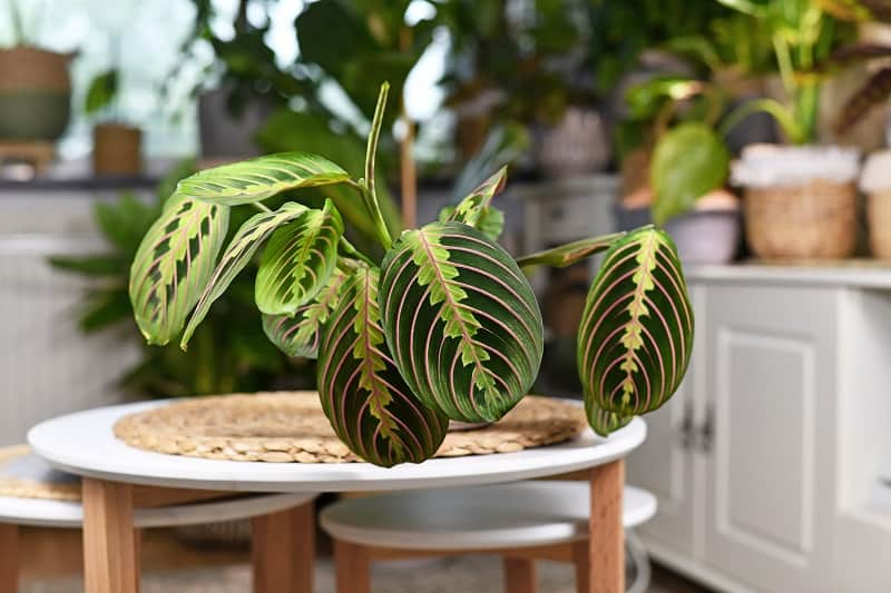 How To Save A Dying Prayer Plant?