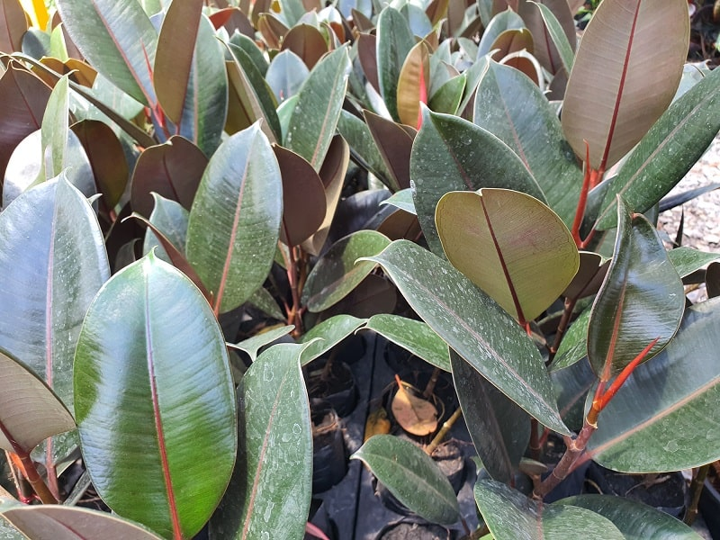 How To Save A Dying Rubber Tree Plant?