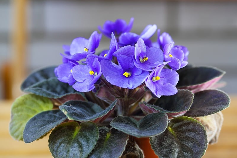 How to Save a Dying African Violet