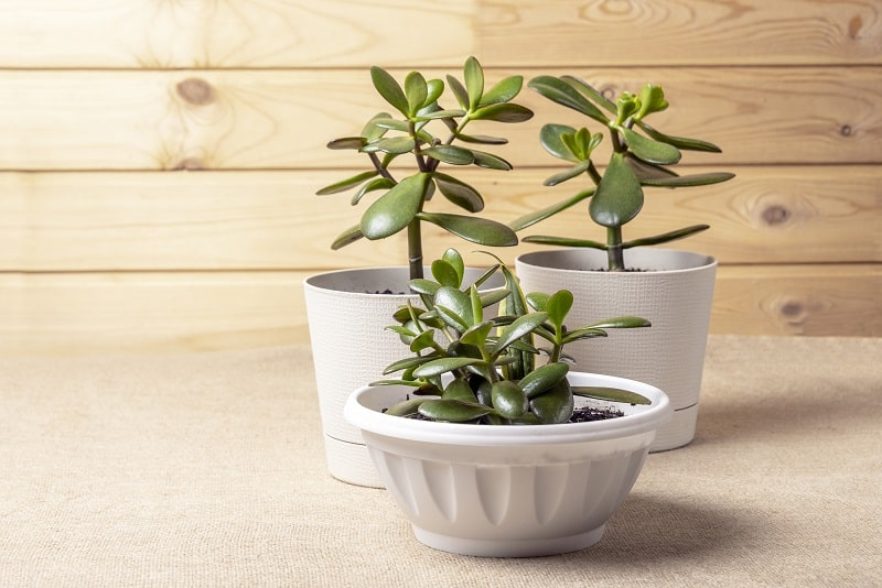 Jade Plant Root Rot