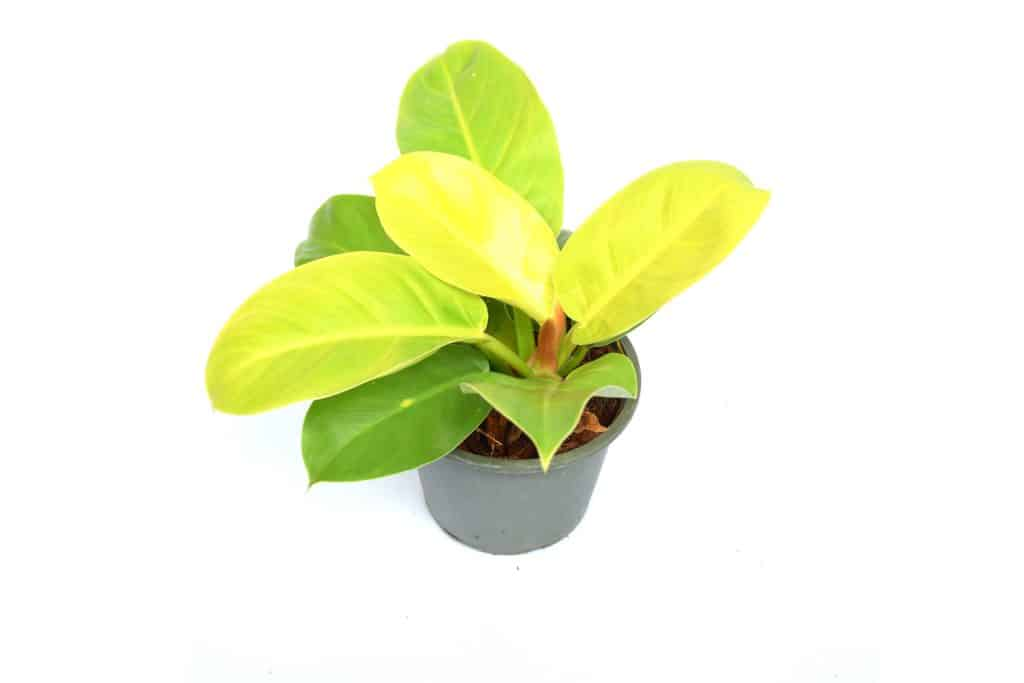 Lemon Lime Philodendron Care and Propagation