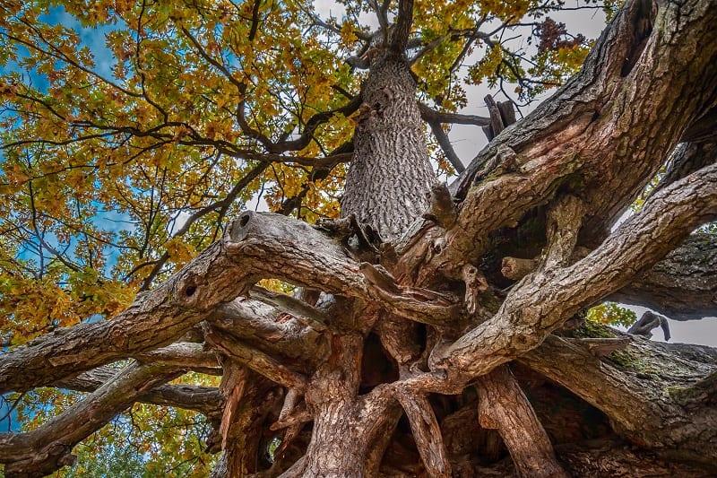 Oak Tree Root Rot