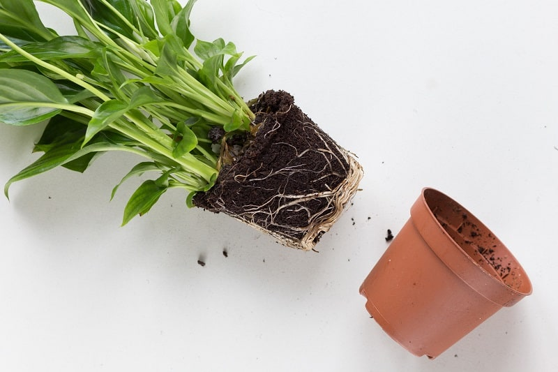 Peace Lily Root Rot